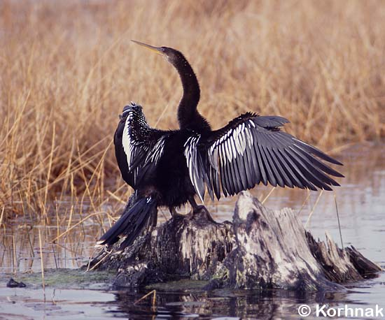 Anhinga displaying in typical pose