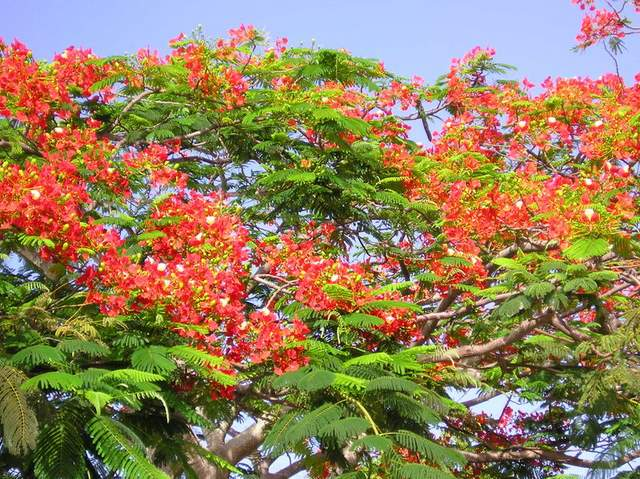 Flowers of the Royal Poinciana tree